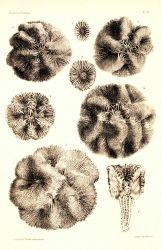 Figures 1-8, Isophyllia dipsacea Photo