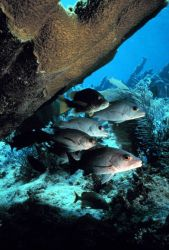 Gray snappers at the reef. Photo