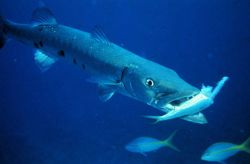 Barracuda dining on another luckless inhabitant of the reef. Photo