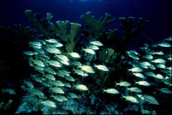 A school of smallmouth grunt and elkhorn coral. Photo
