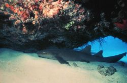A nurse shark under a ledge. Photo