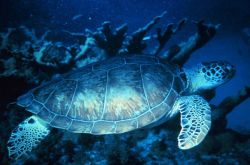 A green turtle swimming at the reef. Photo