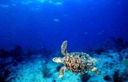A hawksbill turtle swimming. Photo