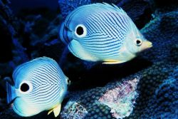 Two four-eyed butterfly fish Photo