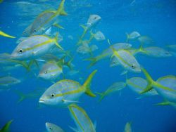 School of yellowtail snapper (Lutjanus chrysurus). Photo