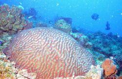 A brain coral Photo