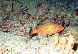 A coney (Cepalopholis fulva) on a rocky substrate with yellow sponges in foreground and an olive chromis (Chromis insolata) in the left background. Photo