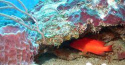 A coney (Cepalopholis fulva) using a rock ledge for cover Photo