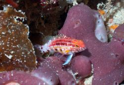 A lantern bass (Serranus baldwini) unsing a purple sponge for habitat. Photo