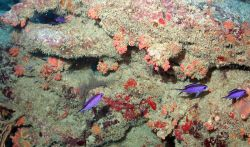 Although purple, blue chromis (Chromis cyanea) against an outcrop with orange-red cup corals and red encrusting sponges. Photo