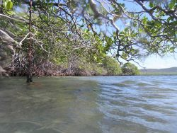Mangrove prop roots (Rhizophora rts Photo