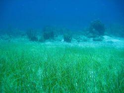 Manatee grass (Syringodium isoetifolium) Photo