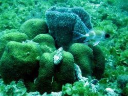 Squirrelfish (Holocentrus adscensionis); encrusting fan-leaf algae (Lobophora sp .); boulder star coral complex (Montastraea annularis); and a blue ba Photo