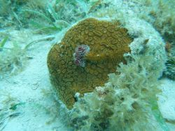 Elliptical star coral (Dichocoenia stokesii) with Christmas tree worms Photo