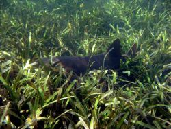 Nurse shark (Ginglymostoma cirratum) in turtle grass (Thalassia testudinum) Photo