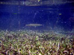 Great barracuda (Sphyraena barracuda) swimming over turtle grass (Thalassia testudinum). Photo