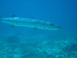 Great barracuda (Sphyraena barracuda) Photo