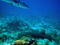 Great barracuda (Sphyraena barracuda) and nurse shark (Ginglymostoma cirratum) Photo