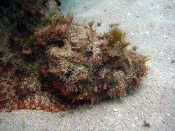 Spotted scorpionfish (Scorpaena plumieri) Photo