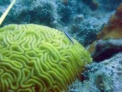 A sharknose goby (Elacatinus evelynae) over a grooved brain coral (Diploria labyrinthiformis) Photo