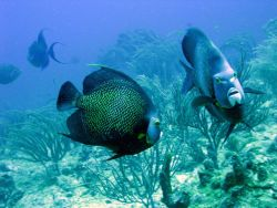 Two French angelfish (Pomacanthus paru) Photo