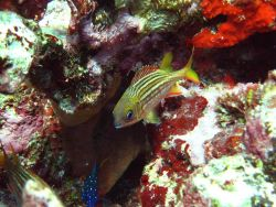 Yellowtail damselfish (Microspathodon chrysurus) - the blue and white juvenile fish; dusky squirrelfish (Sargocentron vexillarium; a brown encrusting  Photo