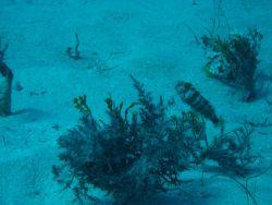 Green razorfish (Xyrichtys splendens) Photo