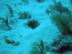Queen triggerfish (Balistes vetula) Photo