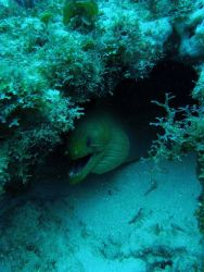 Green moray (Gymnothorax funebris) with Y branched algae and a small goby (Elacatinus sp) near its eye. Photo