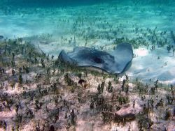 Southern stingray (Dasyatis americana) and Halimeda sp Photo