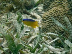 A longfin damselfish (Stegastes diencaeus) and a knobby brain coral (Diploria clivosa) in a turtle grass (Thalassia testudinum) bed. Photo