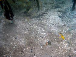 Porkfish (Anisotremus virginicus) Photo