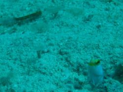 Yellowhead jawfish (Opistognathus aurifrons) Photo