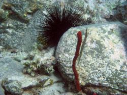 Trumpetfish (Aulostomus maculatus) with red finger sponge and long-spined urchin (Diadema antillarum) Photo
