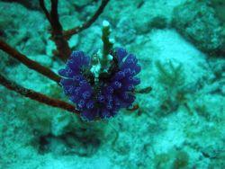 Tunicates (Ascidiacea sp.) Photo