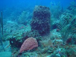 Great star coral (Montastraea cavernosa) in the foreground and a large barrel sponge and a smaller encrusting sponge (Porifera spp) behind the coral. Photo