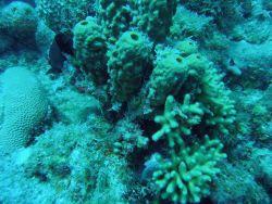 Barrel sponges (Porifera sp.) and finger coral (Porites porites). Photo
