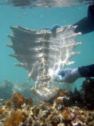 Green turtle skeleton entangled in derelict net. Photo