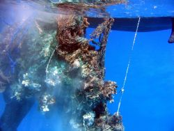 Derelict net prior to cutting out reef substrate material prior to loading on inflatable boat. Photo