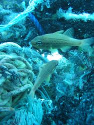 Cardinal fish living at edge of net debris Photo