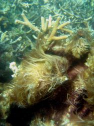 Algae enhance the growth of bacteria that chokes corals by removing oxygen Photo