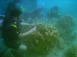 Scientist studying diseased and dying corals. Photo