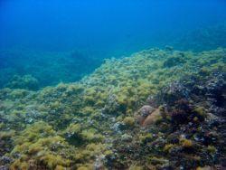 Algae-covered dead reef. Photo