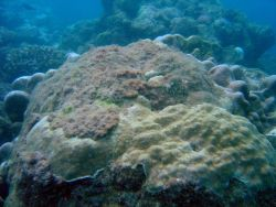 Algae encroaching upon diseased and dying coral. Photo