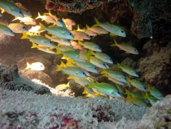 A school of bluelined snapper (Lutjanus kasmira) seemingly disappearing into a void in the reef Photo