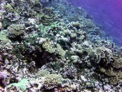A diverse array of corals on a slope of Rose Atoll Image