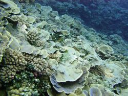 Cabbage coral dominating a slope area Photo