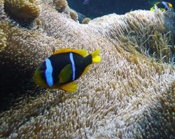Orange Fin Anemonefish (Amphiprion chrysopterus) Photo