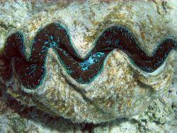 Giant clam (Tridacna sp.) Photo
