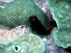 Red-speckled blenny (Cirripectes variolosus) Photo
